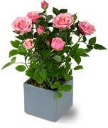 Trandafiri in vas ceramic