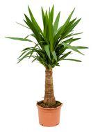 Yucca 90 cm