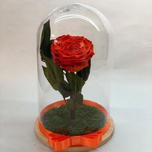 Trandafir criogenat portocaliu, in cupola