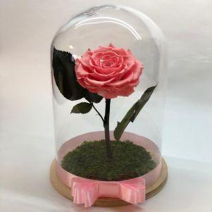 Trandafir criogenat roz, in cupola