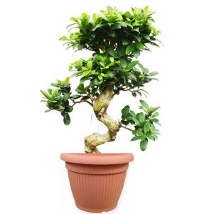 Bonsai Ficus Microcarpa 35/110 cm