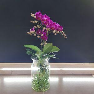 Orhidee Morelia