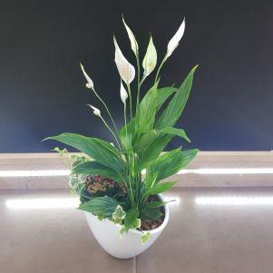 Mix plante cu spatifilium, kalanchoe si iedera