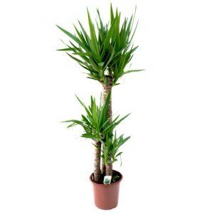 Yucca 3 tulpini 140 cm