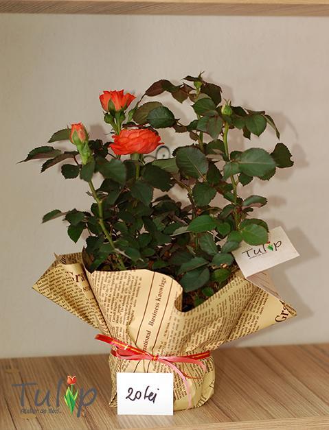 Trandafiri pitici: flori colorate și pline de viață