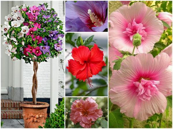 Hibiscus: planta lunii mai în atelierul nostru de flori