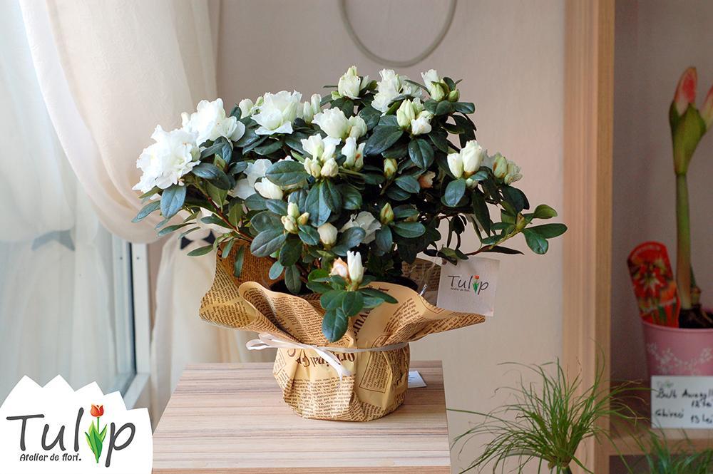 Cele mai frumoase flori albe pentru casa ta