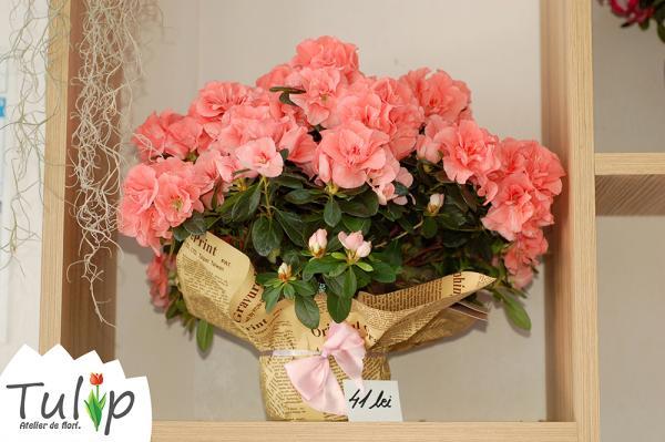 Azaleea: una dintre cele mai frumoase plante de apartament