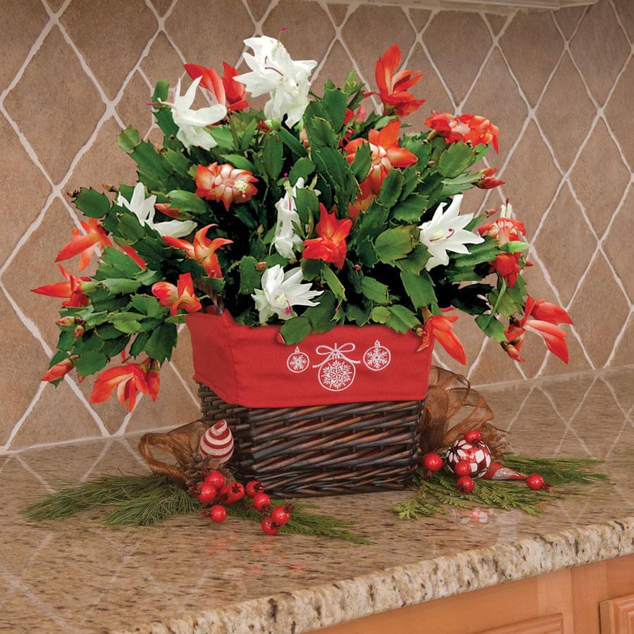 Schlumbergera, Cactusul de Craciun – un cadou inedit si longeviv