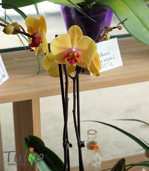 Ianuarie - luna dedicată Orhideei Phalaenopsis în atelierul nostru de flori