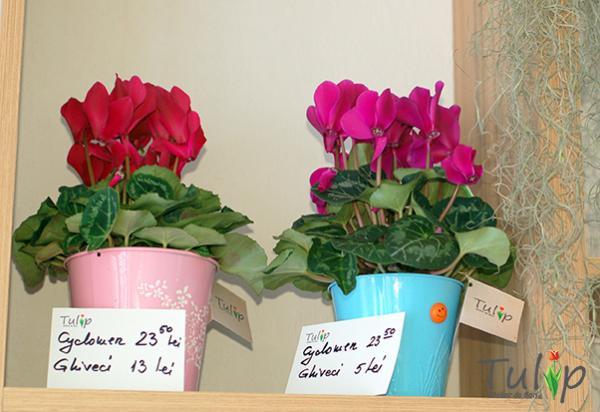Februarie este luna Cyclamen în atelierul nostru de flori